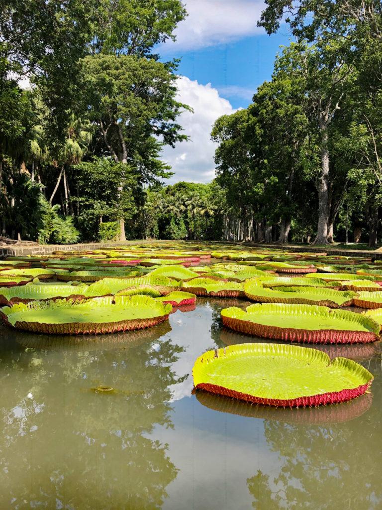 Jardin de Pamplemousses - Nénuphars géants